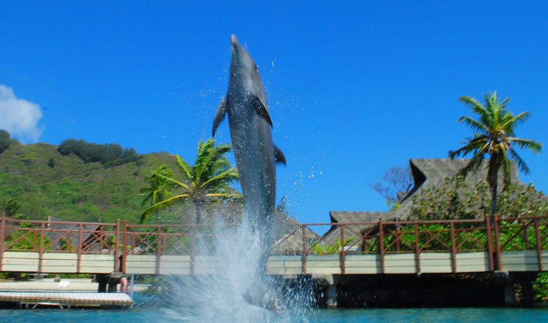 watch dolphin jumping of the water at dolphin center during a moorea vacation